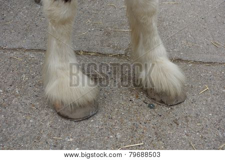 Shire Horse Hooves