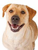 Close-up of a yellow Labrador Retriever dog with a happy face poster