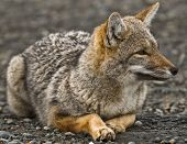 photo of a patagonian grey fox resting on the ground in the naticonal park of torres del paine in chilean patagonia poster