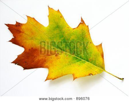 Colourful Leaf