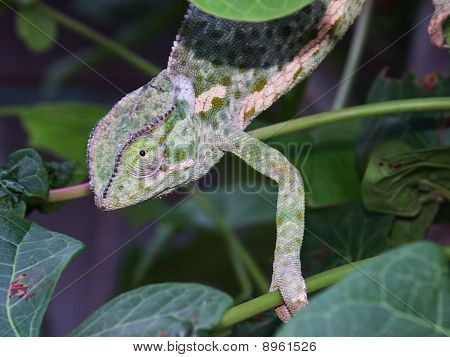 Chameleon (Chamaeleonidae) In The Tree