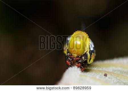 Head Of Pellucid Hawk Moth (cephonodes Hylas Linnaeus) Caterpillar