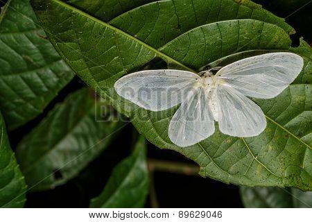Genusa  Simplex Moth