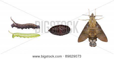 Isolated Life Cycle Of Macroglossum Sitiene Moth