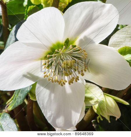 Christmas Rose Or Helleborus Niger