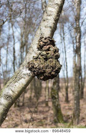 Burl In A Birch Tree