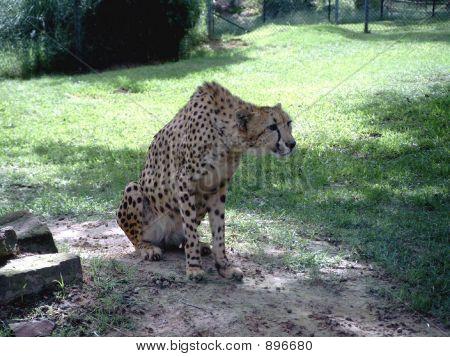Cheetaa