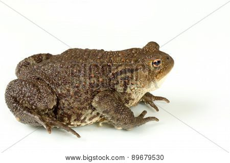 Common Toad, Bufo Bufo, Isolated