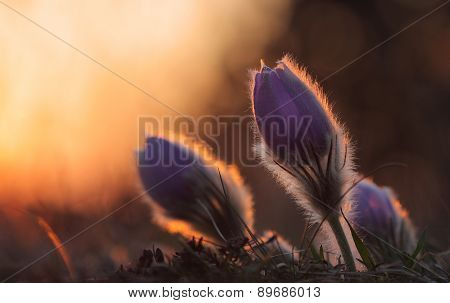 Spring Flower Pasqueflower- Pulsatilla Grandis At Sunset