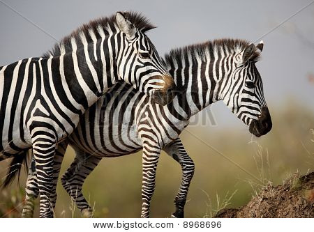 Two Zebras. Masai Mara. Kenya
