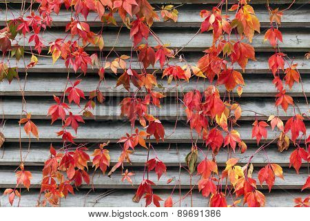 Red Creeper On Wooden Wall At Autumn