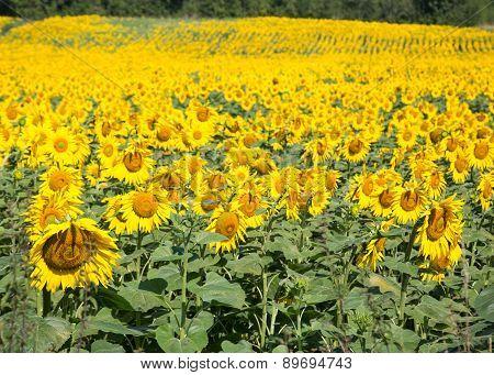 Sunflowers in the Dordogne