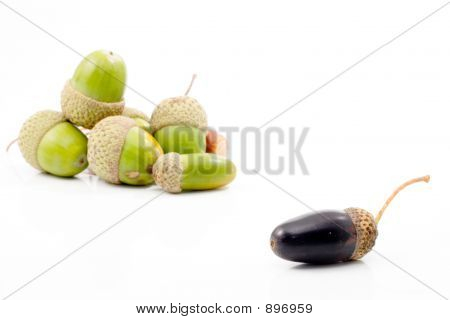 Isolated Acorn