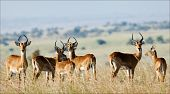 The group of antelopes the impala costs on the grass which has turned yellow from the hot sun. poster