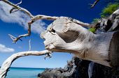Web of dry wood branches over lava rocks at Beach 69 Waialea Big Island poster