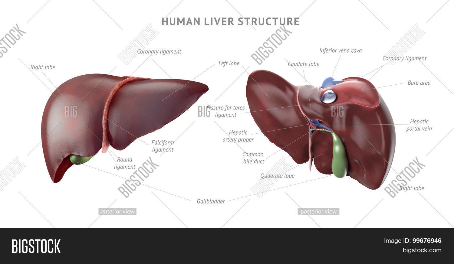 Human Liver Anatomy Image & Photo | Bigstock