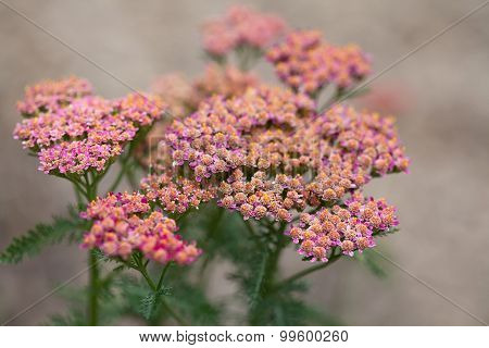 Blooming Small Pink Flowers.