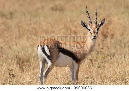 Standing Alert on the Serengeti