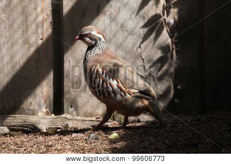 Red-legged partridge (Alectoris rufa). Wild life animal.