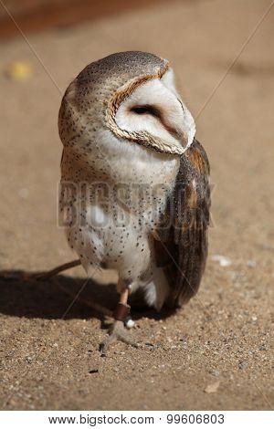 poster of Barn owl (Tyto alba). Wild life animal.