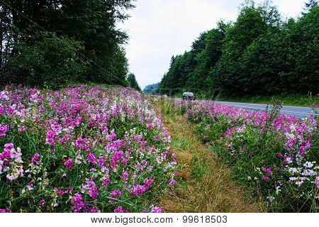 Gorgeous Wild Flowers On Side Of Road In Forks Washington