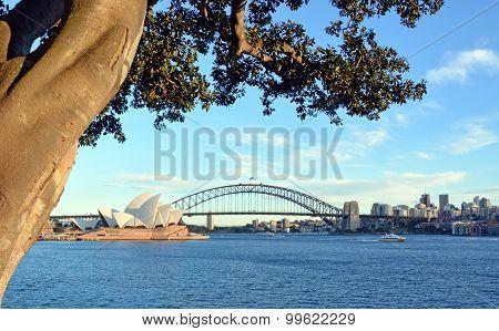 View Of Sydney Opera House, Bridge & Moreton Bay Fig