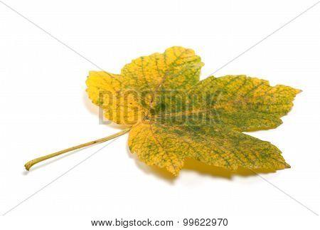 Autumn Maple-leaf Isolated On White Background
