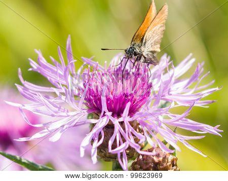 Butterfly On Brown Knapweed, Centaurea Jacea Macro, Selective Focus