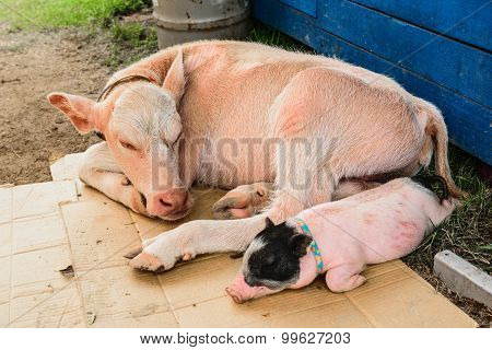 Cows And Pigs