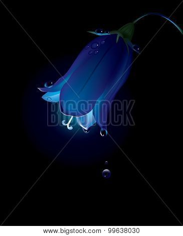 Campanula in dew at night