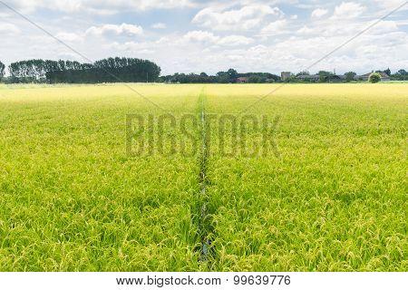 Right to the rice horizon