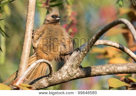 Speckled Mousebird (colius Striatus) Straddling 2 Branches
