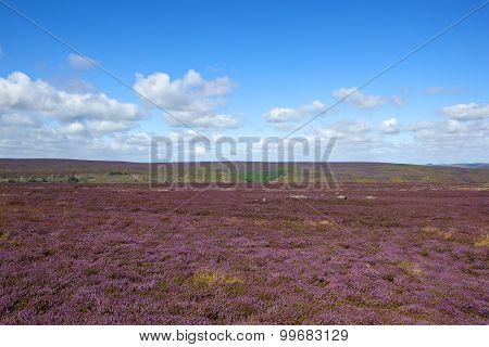Purple Flowering Heather Moorland