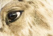 close up of an appaloosa horse`s face. poster