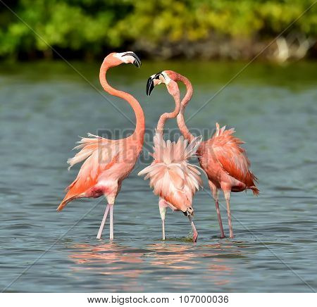 Mating Dance Of A Flamingo