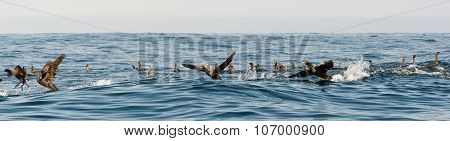The Cape Cormorants