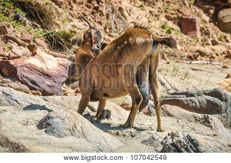 Desert Goat In Jericoacoara, Brazil