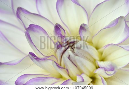 White And Purple Dahlia Close-up