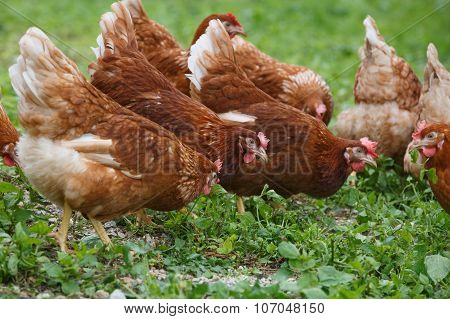Free-range Hens (chicken) On An Organic Farm