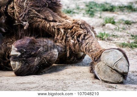 Bactrian Camel's Hoof Detail (camelus Bactrianus), Animal Theme