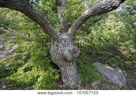 Unusual Oak Tree On Mountain Slope .