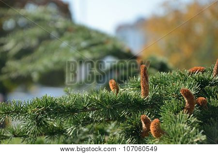 Pine Branches With Burgeons