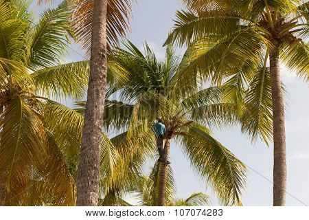 Strong Deft  Man Picking Coconut