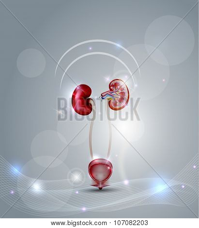 Urinary Bladder And Kidneys