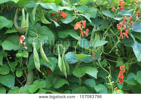 Beans Plants And Flowers