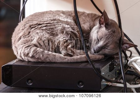 Animals At Home. Egyptian Mau Cat Sleeping
