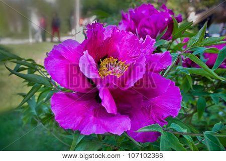 purple flower tree peony