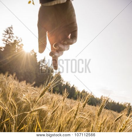 Male Hand About To Touch A Ripening Golden Ear Of Wheat In The Middle Of Beautiful Wheat Field