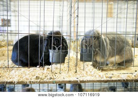 Gray French Lop Rabbit