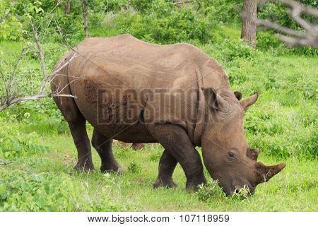 White Rhino grazing on grass